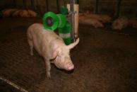 Bürsten für Schweine